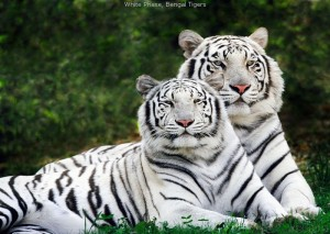 1-white_tigers