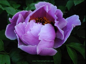 free-amazing-flowers-screensaver_1