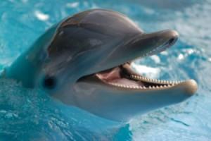 424bottlenoseddolphin