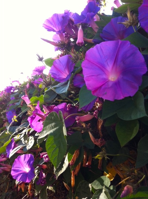 morning-glory-wall-close