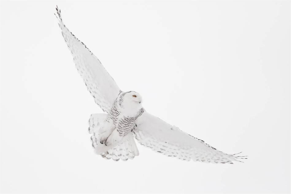 Flight of a Snowy Owl